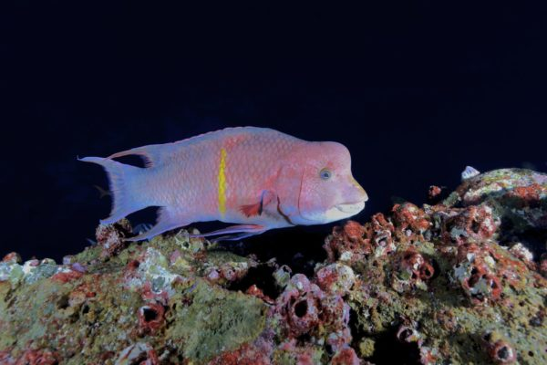 galapagos_darwin_hogfish