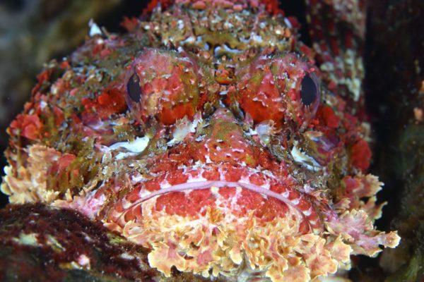 galapagos_pinzon_scorpionfish2
