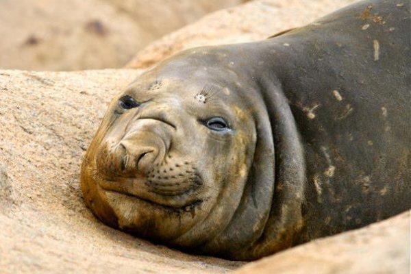 antarctica-grumpy-elephant-seal