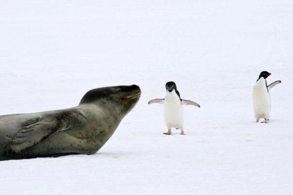 antarctica-leopard-seal