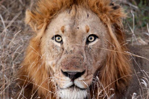 lion-south-african-safari-krugar-np