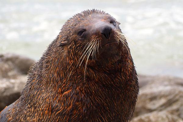 nz-fur-seal-south-island-nz