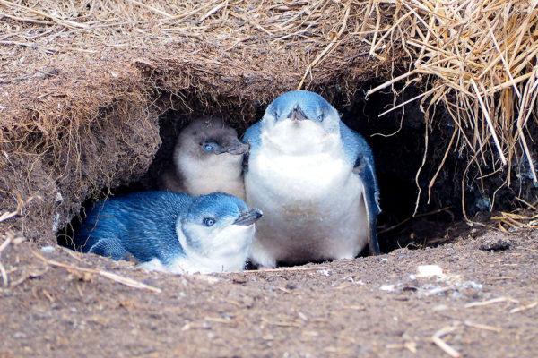 phillip-island-penguins