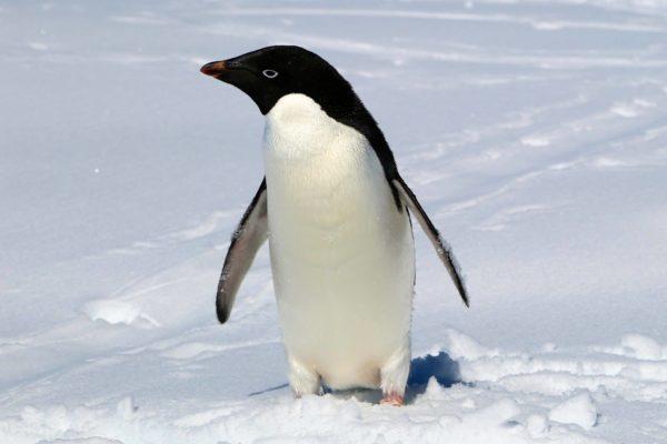 antarctica-penguin-2013
